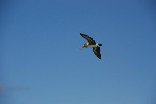 Nisbet Plantation Beach Club: Pelican passing by