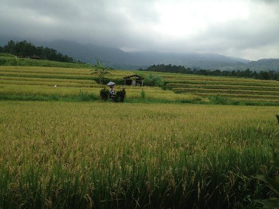 Warung Dhea, Jatiluwih : The Padi Fields