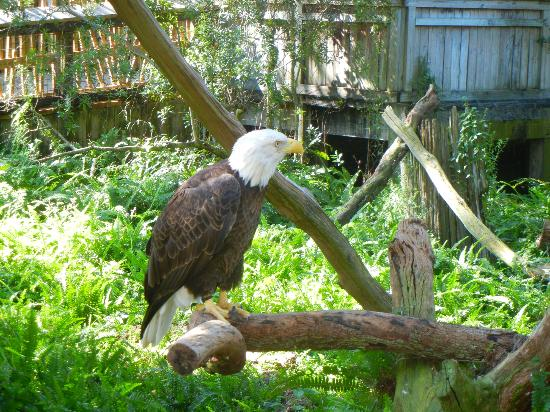 Tampa's Lowry Park Zoo: Bald Eagle