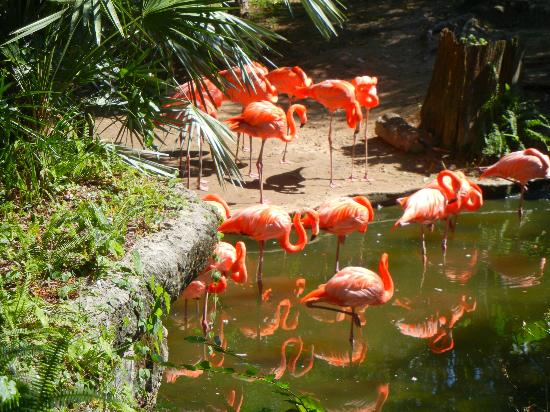 Tampa's Lowry Park Zoo: Flamingos at LoBald Eaglewry Park Zoo