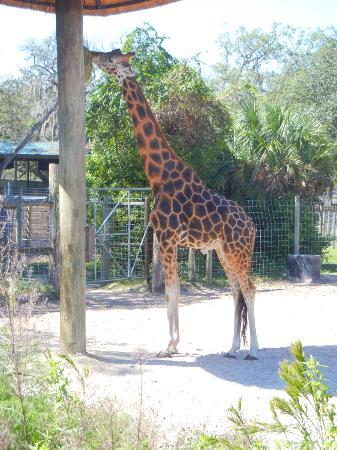 Tampa's Lowry Park Zoo: Giraffe at feeding station