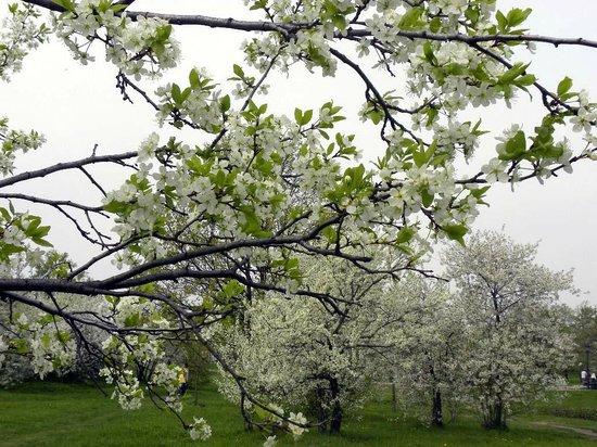Kolomenskoye Historical and Architectural Museum and Reserve: Яблоневые сады в мае