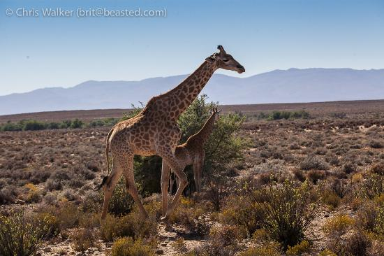 Inverdoorn Game Reserve: Giraffes everywhere!