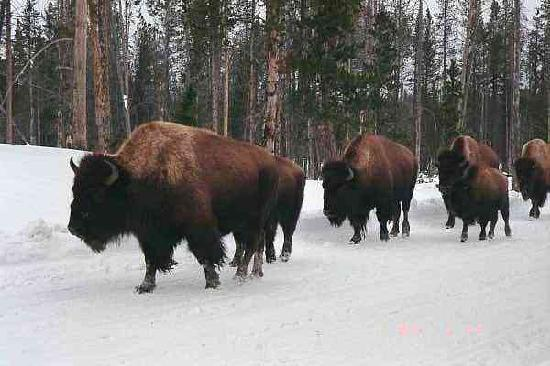 Timbers Condominiums at Island Park: Herd of Buffalo at any time