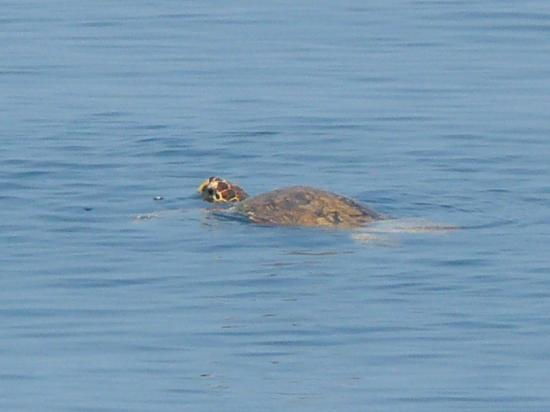 Centara Grand Island: Turtle just off the reef from villa