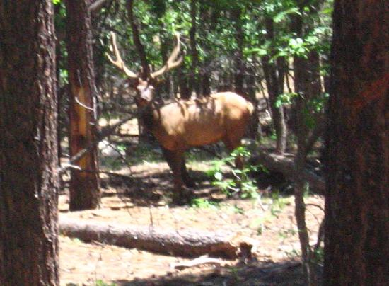 High Mountain Trail Rides: Elk you may see on ride