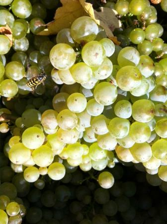 Adelsheim Vineyard: Chardonnay from Stoller Vineyard