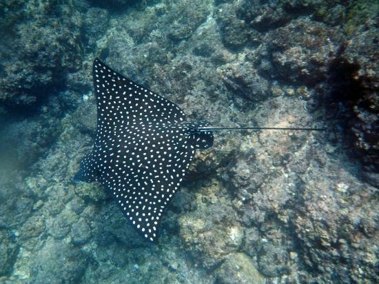 Costa Sur Resort & Spa: Spotted Rays at Los Arcos