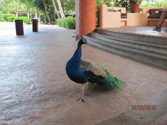 Iberostar Paraiso Lindo: peacock near lobby