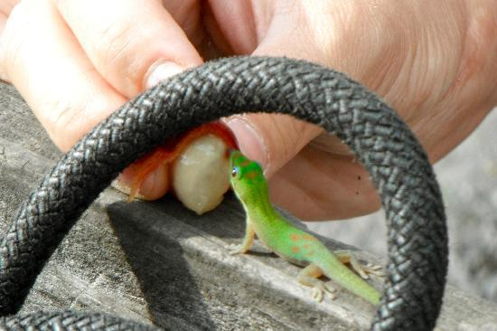 Hula Daddy Kona Coffee: Gecko baby gets a 'Lick' of the bean's outside membrane, which is sweet.
