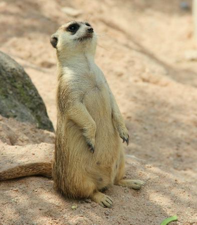 Khao Kheow Open Zoo: Meercat on guard.
