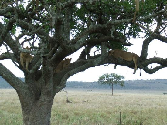 Bright African Safaris: Lion Tree