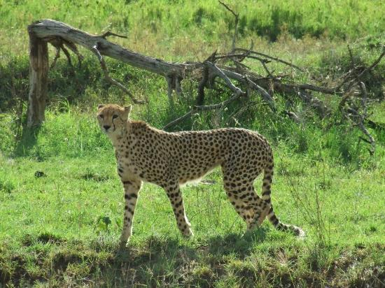 Bright African Safaris: Our everyday cheeta