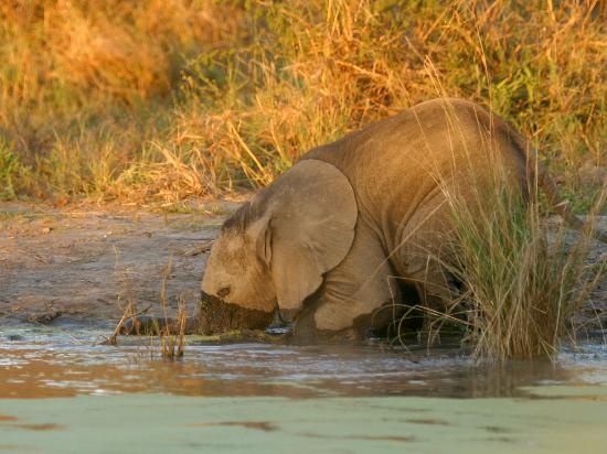 Okavango Delta: Baby elephants do not know how to drink through trunk, takes time to learn