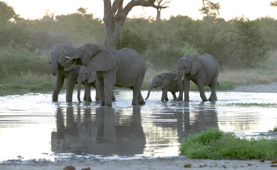 Okavango Delta: Elephants late pm at waterhole