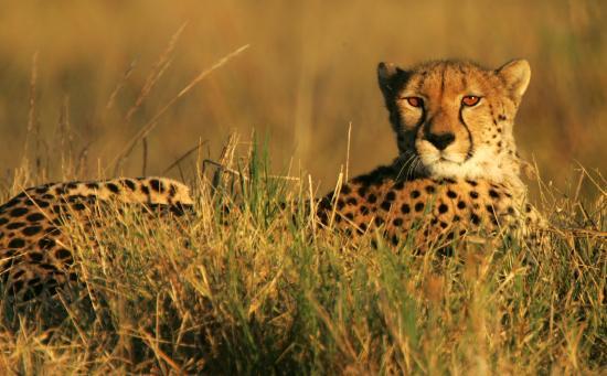 Okavango Delta: Cheetah