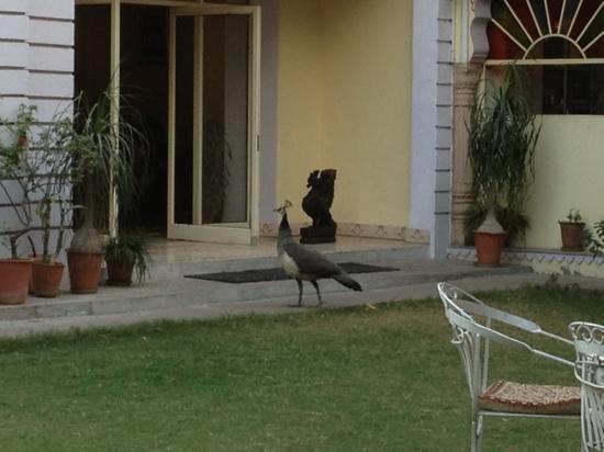 Hotel Anuraag Villa: Pfau im Garten