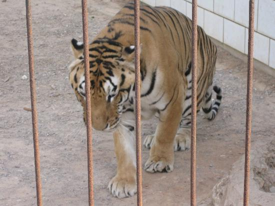 Safari Zoo: Un tigre qui tourne en rond dans sa petite cage...