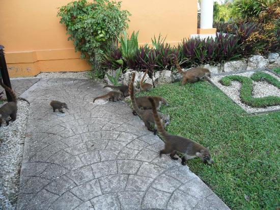 Ocean Maya Royale: Family of coati in the grounds