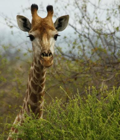 Sausage Tree Safari Camp: Giraffe