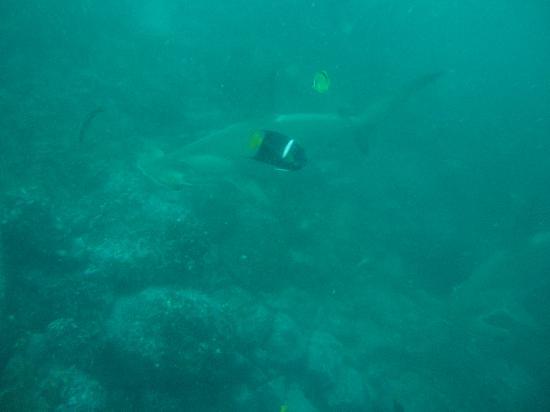 Academy Bay Dive Center: Hammerhead at Gordon Rocks