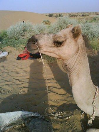 Mystic Jaisalmer Hotel: A camel!!!!
