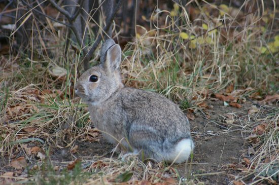 McGregor Mountain Lodge: This bunny lived under our porch and had breakfast with us every morning.
