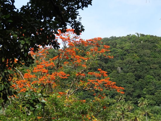 Fond Doux Plantation & Resort: African Tulip Tree on estate