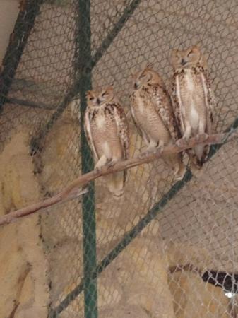 Zallaq, Bahrain: Owl