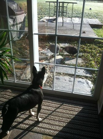 Red Robin Song Guest House: Our dog Rex trying to figure out their awesome roaming Guinea Hens!
