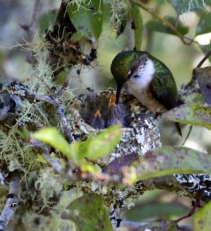 Trogon Lodge San Gerardo de Dota: hummingbird and young