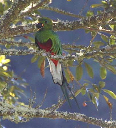 Trogon Lodge San Gerardo de Dota: quetzal with avocado
