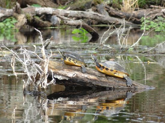 Central Florida Nature Adventures: yellow bellied turtles