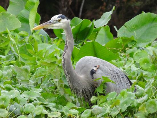 Central Florida Nature Adventures: Blue Heron