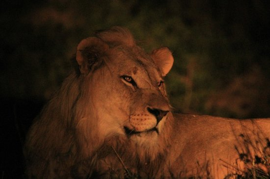 The Vuyani Safari Lodge: The Lion sleeps tonight - Shot at Vuyani