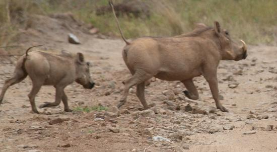 Naledi Bushcamp and Enkoveni Camp: Pumba & friend