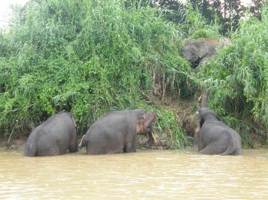 Pygmy Elephants - Bild von Borneo Eco Tours, Kota Kinabalu ...