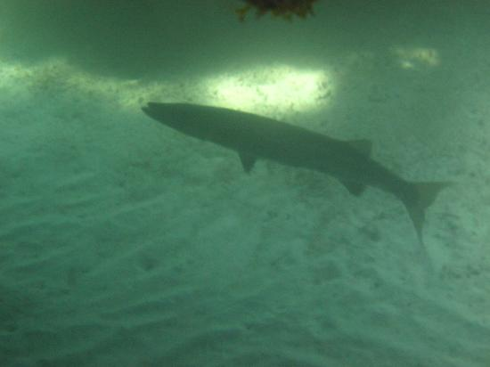 Grand Sirenis Riviera Maya Resort & Spa: this 3 foot barracuda hangs out in cave 20 feet off beach