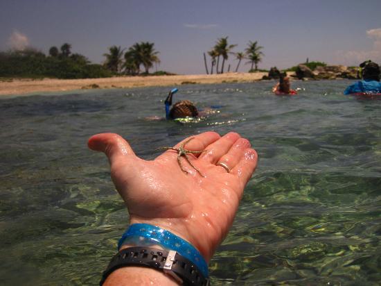 Grand Sirenis Riviera Maya Resort & Spa: lots of starfish under rocks north side of beach