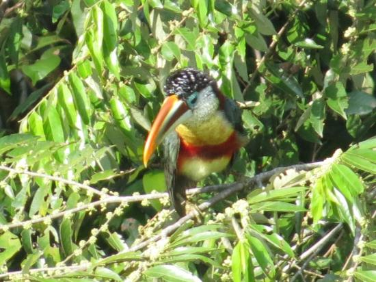 Refugio Amazonas: Tucan