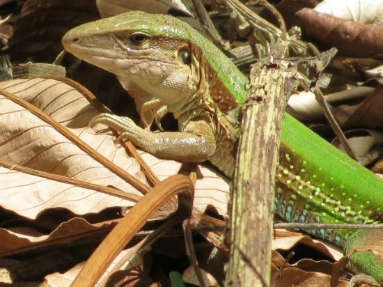 Refugio Amazonas: lizard