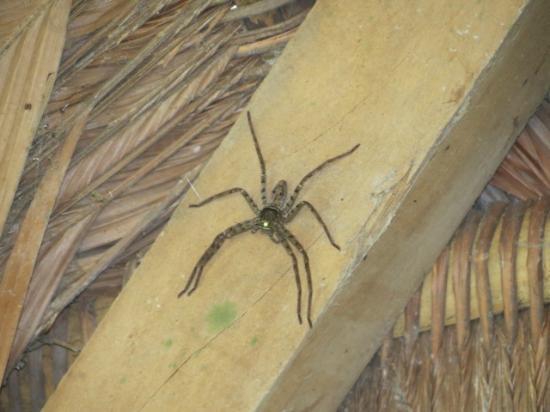 Refugio Amazonas: Huntsman Spider