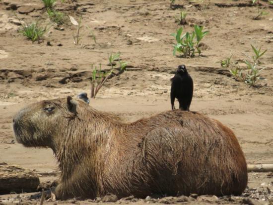 Refugio Amazonas: Capybara with friend