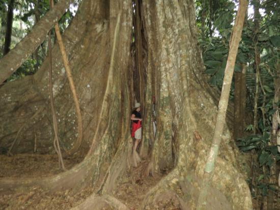 Refugio Amazonas: Massive Tree