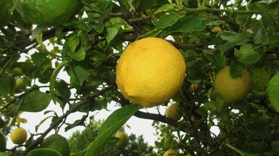 Orange-Ville Guesthouse: Solche Zitronen wachsen hier