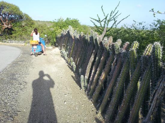 Bruce Bowker's Carib Inn: Cactus fencing