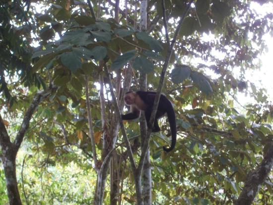 Ylang Ylang Beach Resort: White-Throated Capuchin hanging around the resort