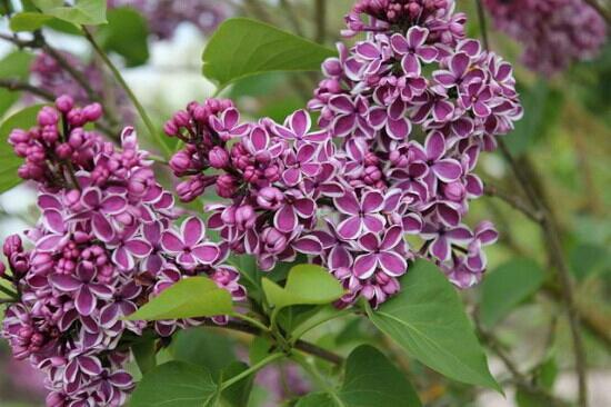 Hulda Klager Lilac Gardens: Lilacs
