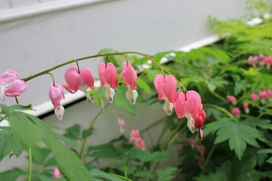 Hulda Klager Lilac Gardens: pretty :)