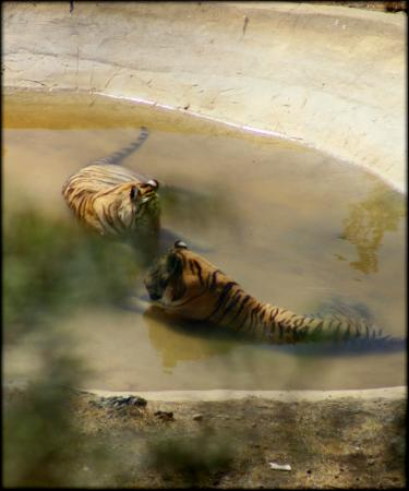 Selwo Aventura: Thats the best pic I could take of the tigers - even photoshop didnt help(300mm zoom)